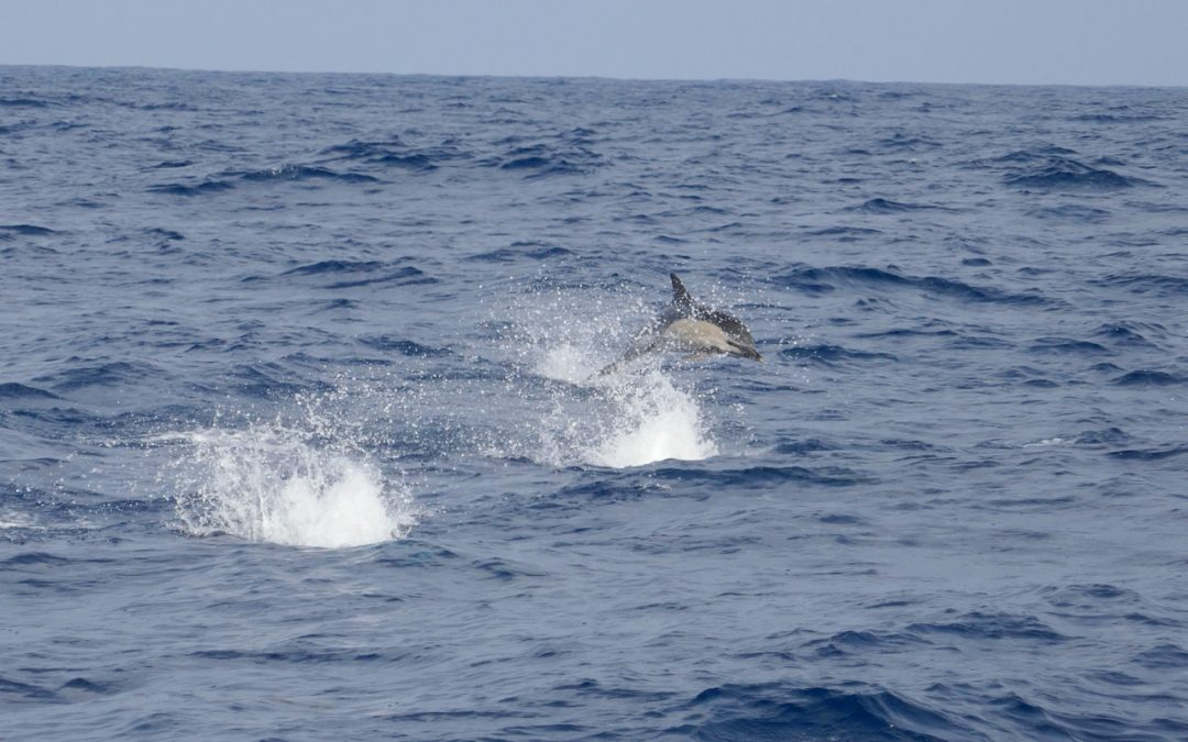 Dolphins, Whales and Pigeons in the Bay of Biscay